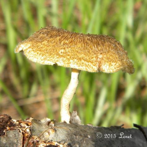 Fringed Sawgill Mushroom?