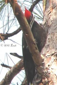 pileatedwoodpecker012812-200x300